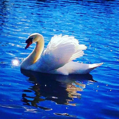 The Majestic Swan! Animal Themes One Animal Animals In The Wild Water Lake Bird Waterfront Reflection Nature Swimming Day No People Animal Wildlife Water Bird Outdoors Blue Beauty In Nature Swan Spread Wings Close-up