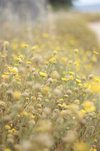 Nature Flower Day Yellow Spring Colours Freshness Growth Field Selective Focus Plant Tranquility No People Agriculture Outdoors Beauty In Nature Close-up