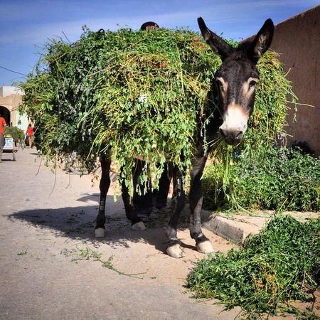 Burro de carga Mercado Rissani Desierto Donkey Marruecos Morocco