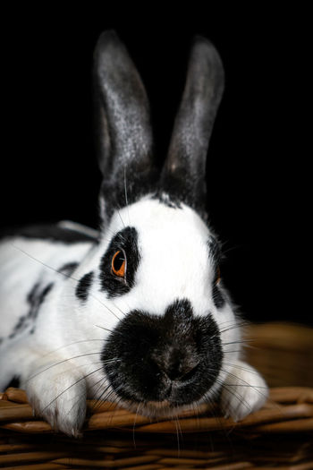 Close-up portrait of rabbit on table against black background