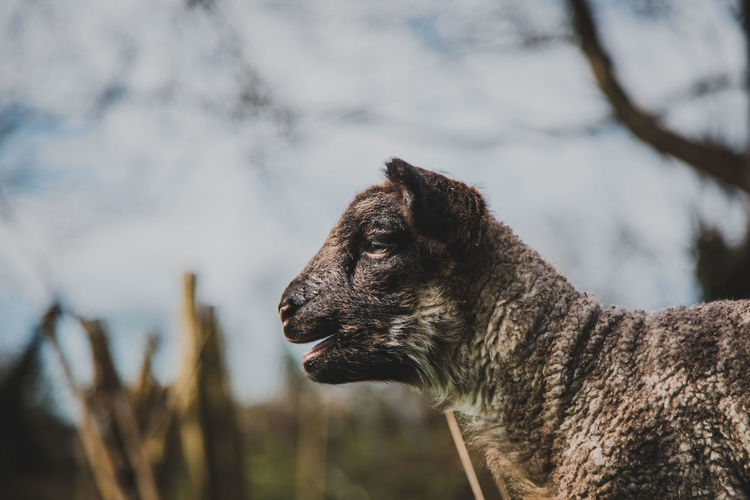 One Animal Animal Themes Animal Mammal Focus On Foreground Animal Wildlife Vertebrate Animals In The Wild No People Looking Nature Day Looking Away Tree Domestic Animals Plant Close-up Side View Pets Outdoors Animal Head  Profile View