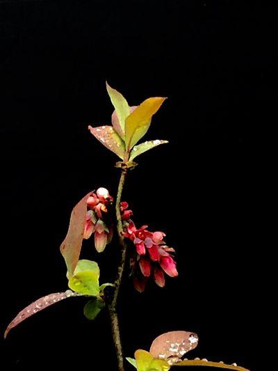 雨中的蓝莓娇艳欲滴 花卉