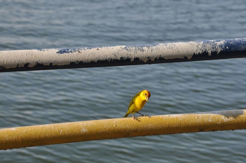 Bird Animal Water Yellow Nature Beauty In Nature Day Alter Do Chão - Rio Tapajós - Pará - Brasil