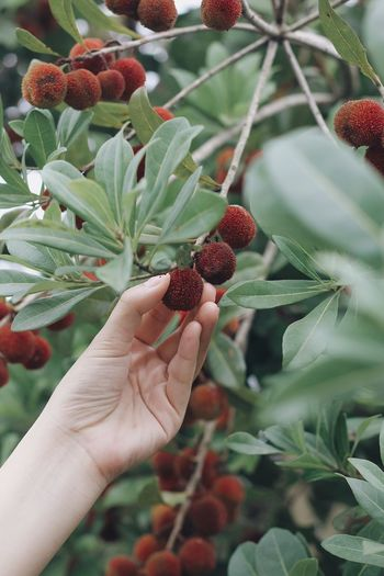 Chinese Bayberry Bayberry Red Fruits Summer Pick Picking Human Hand Human Body Part Growth Freshness Holding One Person Nature Food Real People Close-up Outdoors Healthy Eating Beauty In Nature Fragility Flower EyeEmNewHere Freshness EyeEm Nature Lover