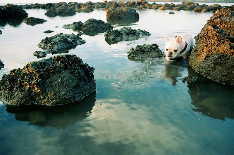 Water Reflections Frenchbulldog Getting In Touch Life Is A Beach Snapshots Of Life Film Is Not Dead Film Photography 35mm Film Nikon Fm10 Pets Corner 鐵蛋 Pet Portraits