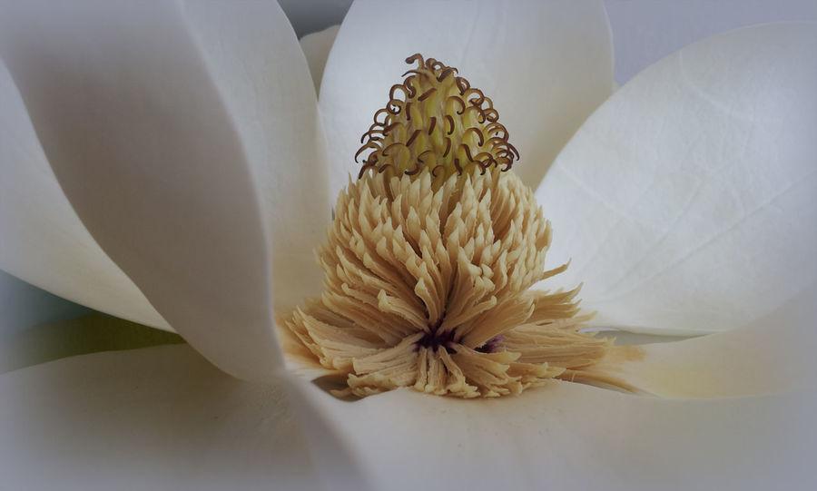 Magnolia grandiflora #EyeEmEsterlinda #italy Backgrounds Beauty In Nature Botany Close-up Flower Freshness Nature Petal Pollen Single Flower Stamen