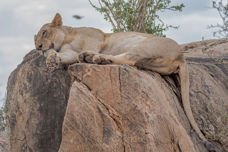 A lion relaxing on rock