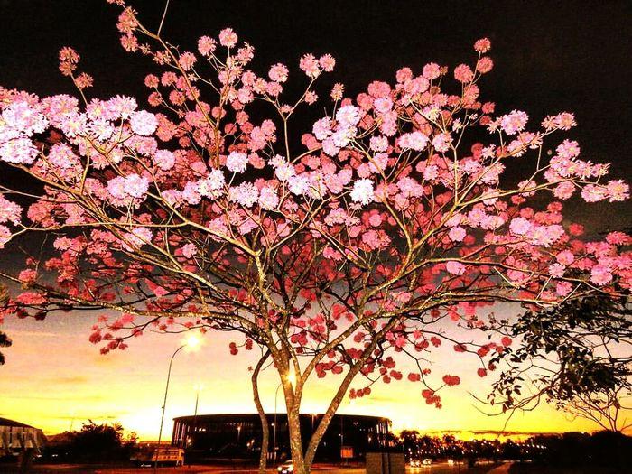 Ipe rosa em Brasília... Brasília Df Iperosa Estadionacionaldebrasilia