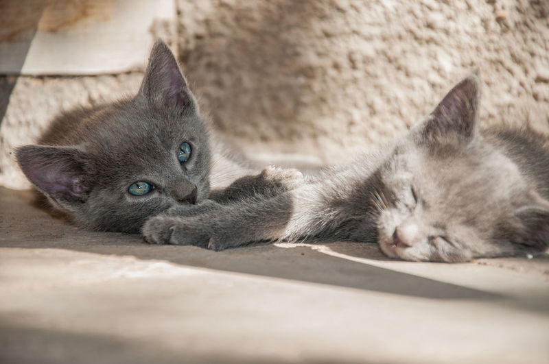 Dreaming kitten EyeEmNewHere Nikon Animal Themes Cat Close-up D90 Day Domestic Animals Domestic Cat Feline Indoors  Kitten Konstantine Berulava Lying Down Mammal No People One Animal Pets Portrait Relaxation Siamese Cat Whisker Young Animal