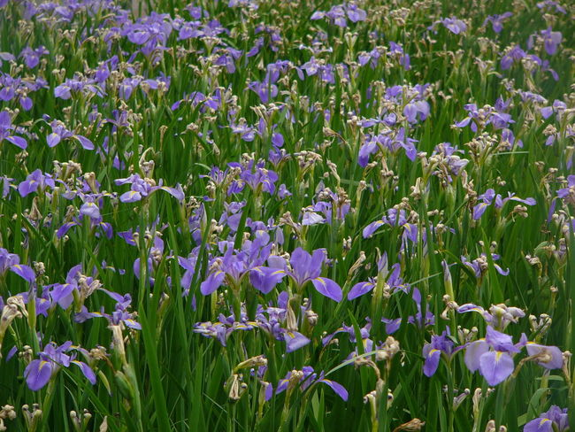 Iris Iris Iris Flowers Iris Flower Backgrounds Beauty In Nature Blooming Close-up Day Field Flower Flower Head Fragility Freshness Full Frame Green Color Growth Iris - Plant Iris Bloom Iris Gardens Nature No People Outdoors Petal Plant Purple