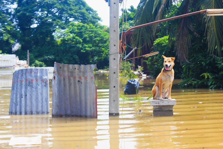A dog is lost to the owner while flooding Lost Animal Themes Day Dog Domestic Animals Flood Flooding Looking At Camera Mammal No People One Animal Outdoors Owner Pets Portrait Sitting Tree Wet While