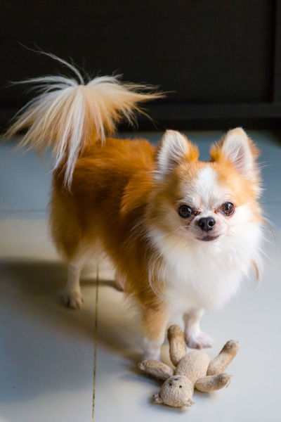 Chihuahua dog with his toys Mammal Animal Themes Domestic Animal Domestic Animals Pets One Animal Dog Canine Vertebrate Portrait Lap Dog Looking At Camera Indoors  Cute No People Young Animal Focus On Foreground Close-up Small Pomeranian Chihuahua - Dog Dog Looking At Camera Dog With Toy Chihuahua