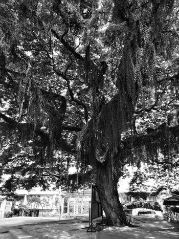 Century Old, Holy Trinity University, Puerto Princesa City Palawan Philippines Tree Nature Growth