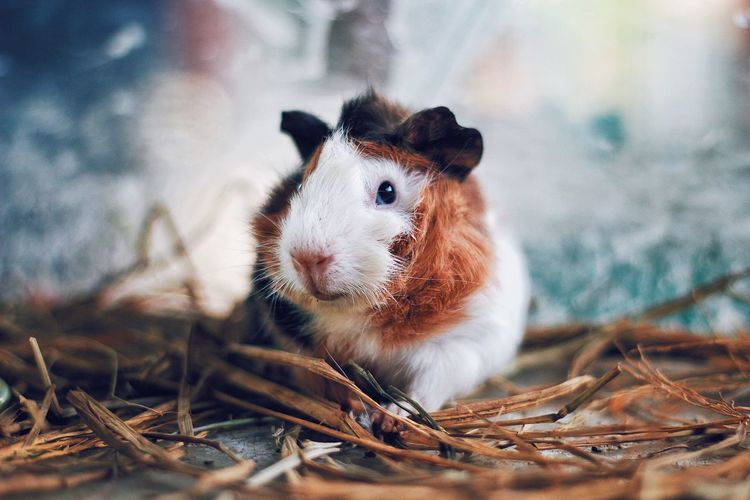 Close-up portrait of guinea pig