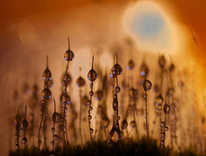 Close-up of plants on field during sunset
