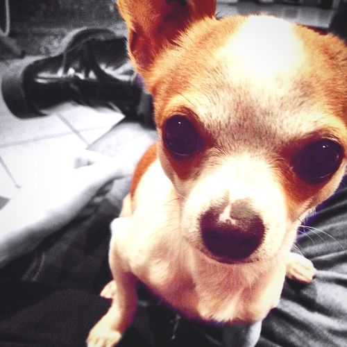 Dog Little Chiuaua Igor Hello World Cheese! Littlebrother Biglove❤