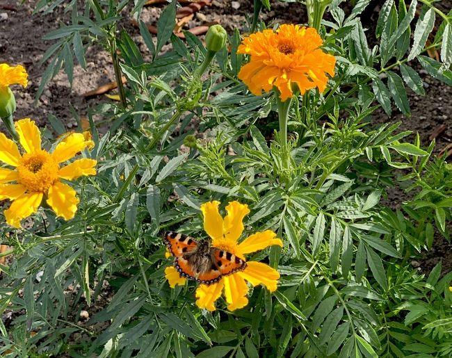 High angle view of orange marigold flower