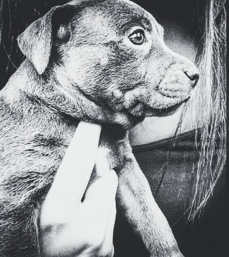 Pit Pup Pets Domestic Animals One Animal Animal Themes Mammal Dog Animal Head  Animal Body Part Close-up LoveThem  Lovedog Pit Pitbull Pup Puppy Puppy Love Pets Corner Mansbestfriend Mans Best Friend Pets Of Eyeem Dogslife Dog Day Afternoon Companion Dog Joy Hold