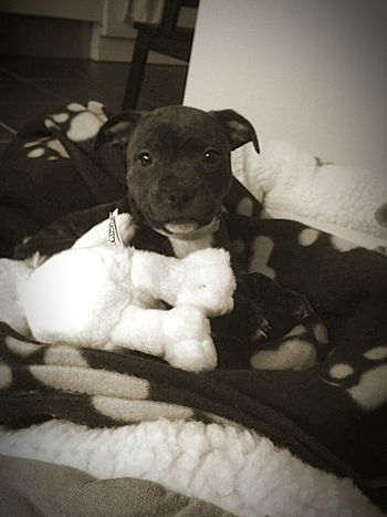 ❤ My little princess ❤ Ilovemydog Mybaby Mydogiscoolerthanyourkids Socute💕 Can't Live Without Lookatthatface Staffylove Staffordshire Bull Terrier