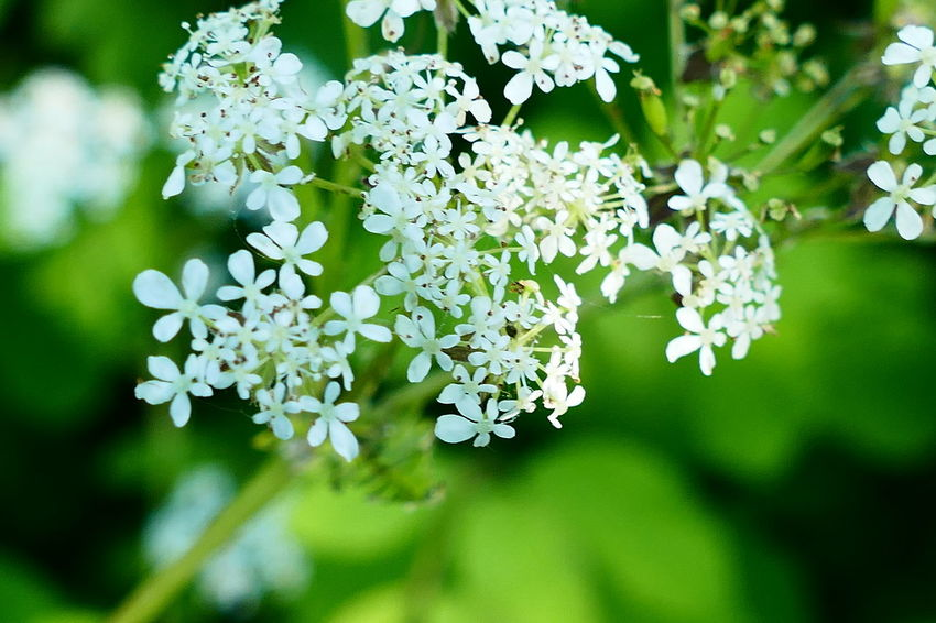 Summer in Ireland:) Beauty In Nature Blooming Blossom Botany Close-up Day Flower Flower Head Focus On Foreground Fragility Freshness Green Green Color Growing Growth In Bloom Nature No People Outdoors Petal Plant Showcase June The Essence Of Summer White Maximum Closeness