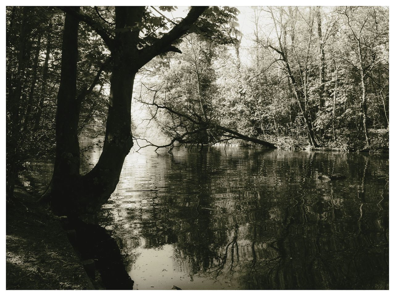 tree, plant, auto post production filter, transfer print, water, forest, tranquility, lake, trunk, tree trunk, land, nature, no people, tranquil scene, beauty in nature, scenics - nature, day, reflection, outdoors, woodland
