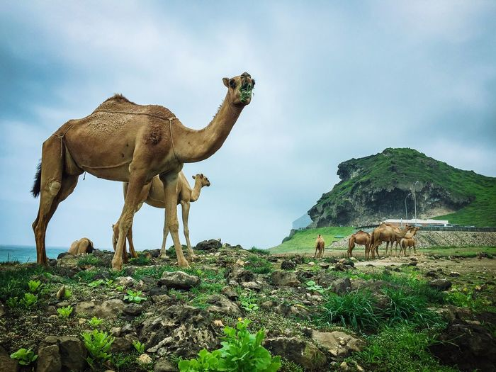 Camels Standing On Mountain Against Sky