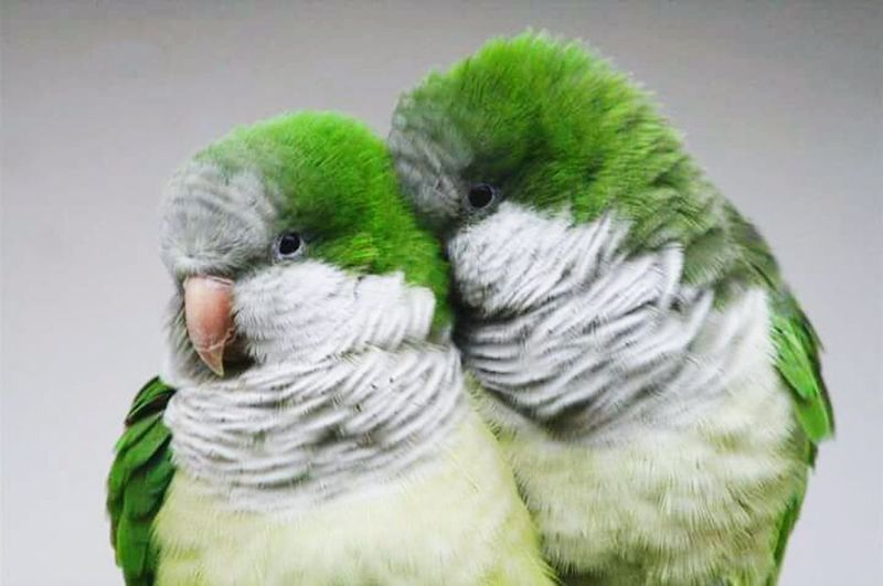 Muslimah #proudtobemuslim #selfie #me Assalammualaikum Hi! Check This Out QuakerParrot Taking Photos Patty!!! Taking Photos My Love Lahore Pakistan Animallovers Birds Of EyeEm  Birds_collection Birds🐦⛅ Beautiful Birds