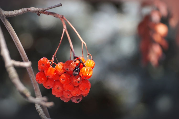 Fruit Red Focus On Foreground Food Day Plant Beauty In Nature Growth Nature Orange Color Outdoors Tree Sunlight Rowanberry Close-up No People Bird Food Wintertime Weather Seasons