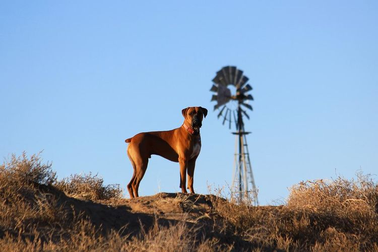 Boxer Dog Standing On Field With Water Wheel In Background Against Clear Blue Sky