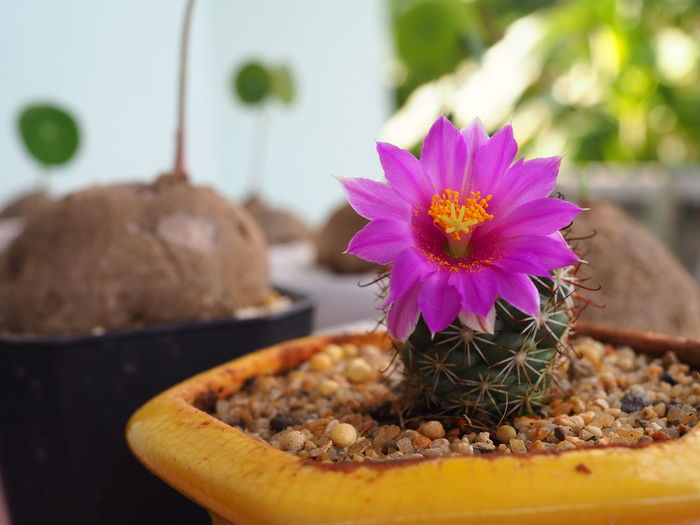 Close-up of purple flower on potted plant