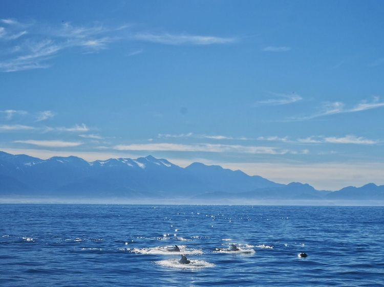 Pilot whales in Kaikoura Water Sea Sky Beauty In Nature Cloud - Sky Nature Blue Mountain Animal Wildlife Animal Animal Themes Scenics - Nature Animals In The Wild Outdoors The Traveler - 2018 EyeEm Awards