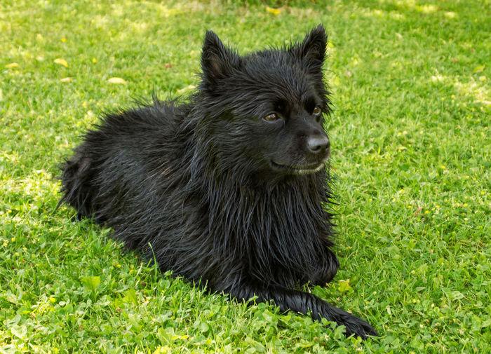 Nelson Pomeranian Bathing Deutscher Spitz Animal Dog Domestic Animals Grass Mittelspitz No People One Animal Outdoors Pets Wet