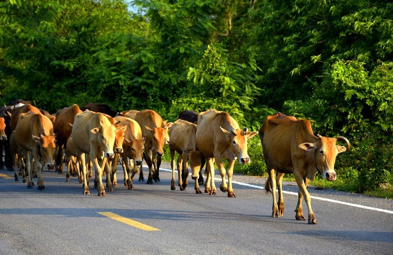 Cows walking on road against trees