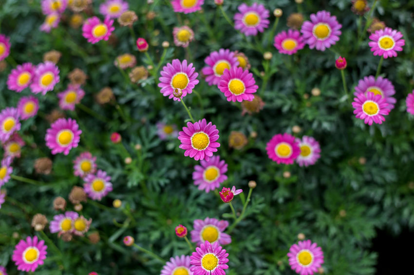 Flowering Plant Flower Freshness Plant Fragility Beauty In Nature Vulnerability  Petal Growth Flower Head Inflorescence No People Close-up Pink Color Nature Day Outdoors Focus On Foreground Botany Backgrounds Flowerbed