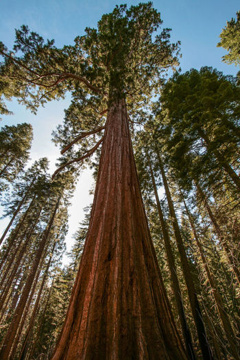 Low angle view of redwood trees growing in forest