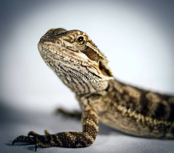 Bearded Dragon Animal Scale Animal Themes Animal Wildlife Animals In The Wild Bearded Dragon Chameleon Close-up Day Lizard No People One Animal Outdoors Reptile