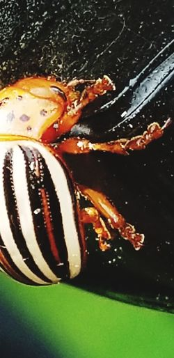 hold on Beetle
