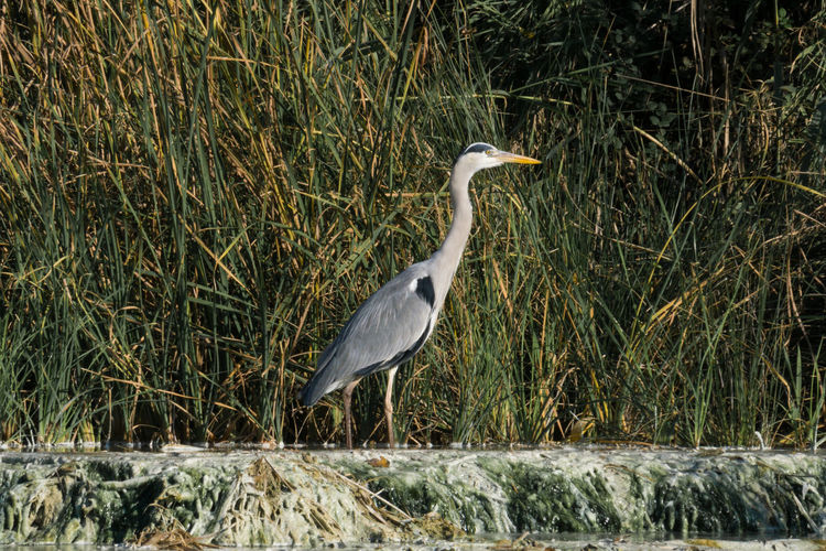 High angle view of gray heron perching on land