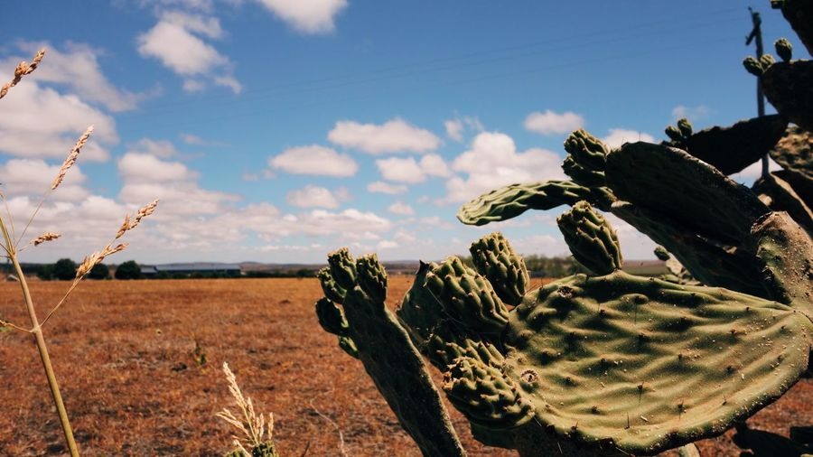 Summer Drought Outback Queensland Sunflower Australia Yellow Farm Plant Sky Cloud - Sky Growth Nature Succulent Plant Cactus Close-up Tranquil Scene Outdoors Scenics - Nature Sunlight Land Prickly Pear Cactus No People Landscape Tranquility Day Field Beauty In Nature