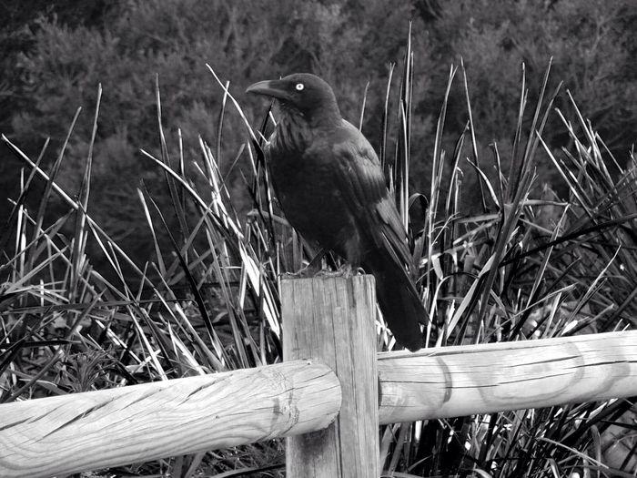 Raven Alertness