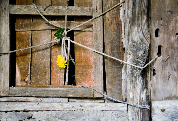 Yellow Flower On Wooden Abandoned Window