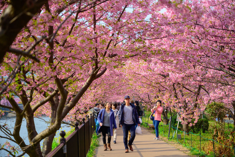 Group of people walking on cherry blossom