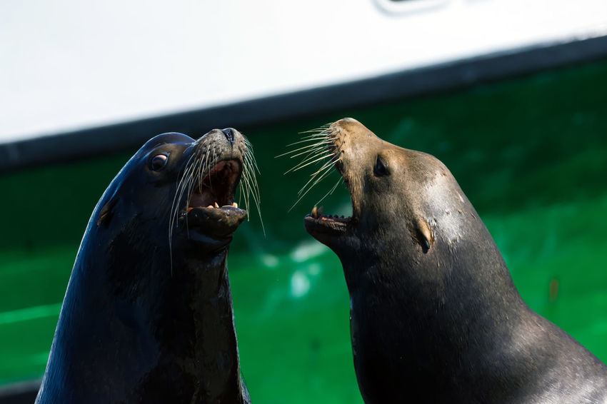 Westport Sea Lions Photo Series Part 2 Animals In The Wild Photo Series Sea Lion Wildlife & Nature Wildlife Photography Wildlife Photos Animal Animal Themes Animal Wildlife Animals In The Wild Close Up Day Large Group Of Objects Mammal Mammals Marine Ocean Outdoors Pest Sea Sea Life. Sea Lion Natural Habitat Splashes Underwater Wildlifephotography