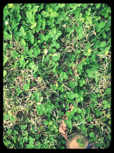Picking Four Leaf Clovers