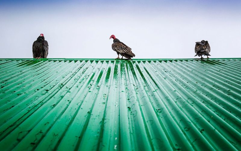 Low angle view of vultures perching on roof against sky