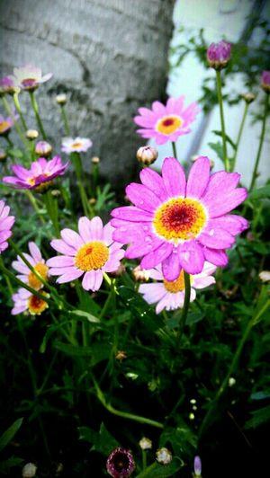 Flowers Nature Garden Tree Daisy Rain Drops Grass Bloom Nature Makes Me Smile Purple Flower Nature Makes Me Happy