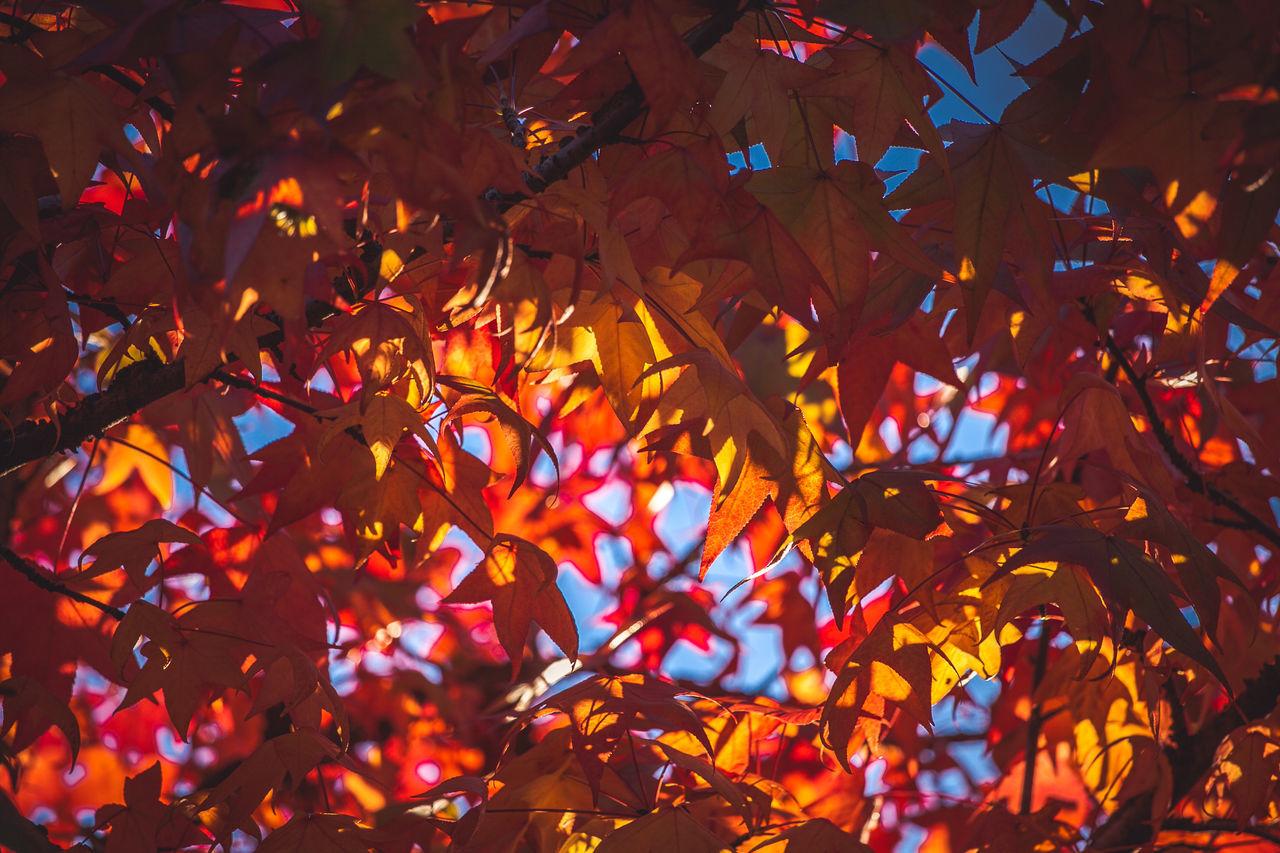 Full Frame Shot Of Maple Tree During Autumn