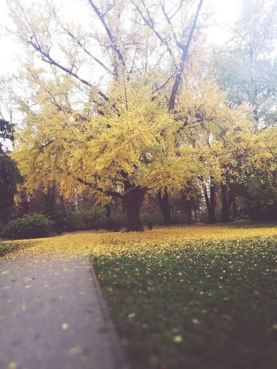 Only yellow trees. Nature Outdoors Tree Yellow Beauty In Nature No People Morning Walk Mornings Tree Nature No People Growth Yellow Day Outdoors Beauty In Nature Water Close-up Sky First Eyeem Photo