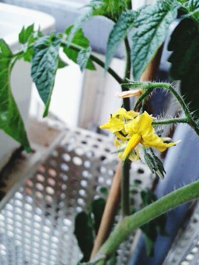 Tomatenpflanze