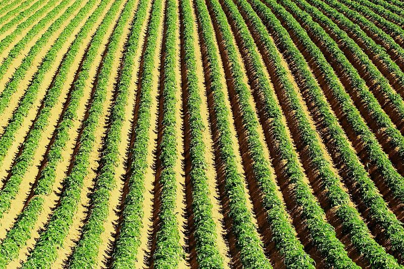 Full frame shot of potato field